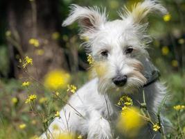 chiot schnauzer de couleur blanche pose dans un champ avec des fleurs jaunes photo