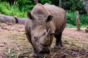 le rhinocéros est un grand mammifère photo