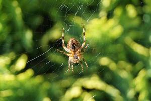 araignée sur le web photo