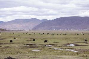 temps nuageux de montagne de yak sauvage, shangri la, province du yunnan, chine photo