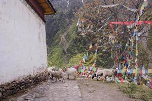 Vieille maison moutons dans la montagne enneigée de meili yunnan chine photo