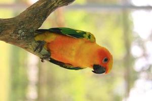 Sun conure perroquet oiseaux sur la branche photo