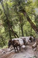 mule transportant de lourds sacs de sable à shangri la yunnan chine photo