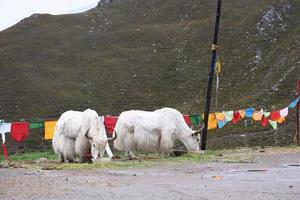yak mangeant de l'herbe dans la province de laji shan qinghai en chine. photo