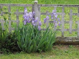 iris iris germanica, fleur pourpre photo