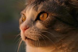 chat attendant le moment opportun pour attaquer la proie. photo