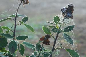fleur de rose séchée. des gouttes de brouillard reposent sur une fine toile d'araignée photo