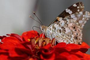 un papillon mange du nectar sur une fleur rouge. photo
