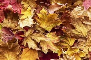 feuilles d'érable séchées. fond de nature photo