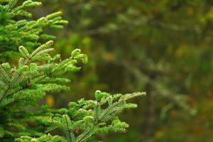 branches de pin sur fond flou flou photo
