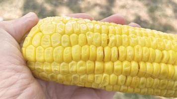 prêt à manger du maïs en épi photo