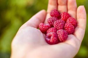 une main avec de grosses framboises rouges sur fond de branches de framboise photo