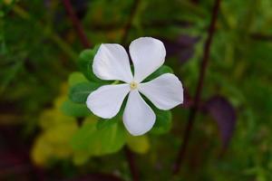 belle fleur de catharanthus roseus dans le jardin photo