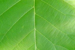 gros plan de la texture de fond de feuille verte de teck, butea monosperma photo