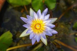 lotus violet dans le bassin d'eau photo
