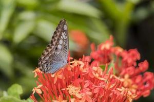 grand papillon bleu voile parthenos sylvia sur fleurs roses rouges. photo