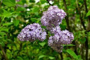 lilas. fleurs de lilas violets colorés avec des feuilles vertes. photo