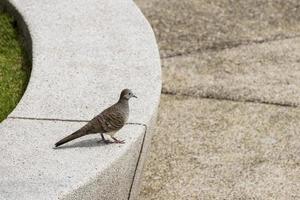 Jardin botanique de perdana d'oiseau de colombe de zèbre, malaisie. photo