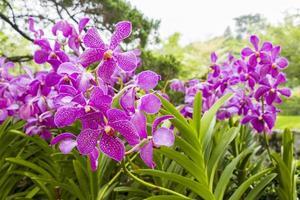 belles orchidées roses en malaisie. photo