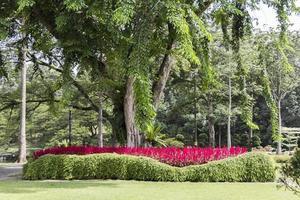 plantes rose-rouge vif, fleurs et immense arbre du parc, malaisie. photo