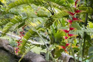 belle grande fleur d'héliconia jaune rouge nature tropicale malaisie. photo