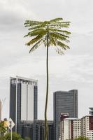 grand palmier mince inhabituel à kuala lumpur. photo