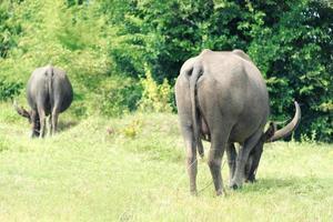 troupeau de buffles mangeant au champ d'herbe verte photo