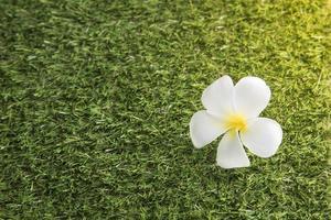 Leelawadee fleur blanche sur le terrain en herbe photo