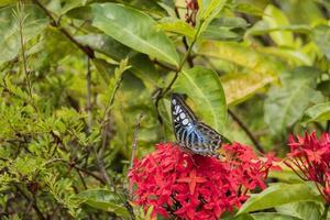 grand papillon bleu voile, parthenos sylvia sur fleur rouge photo