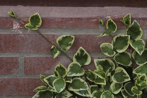feuilles vertes et fleur de hedera ouverte dans mon jardin photo