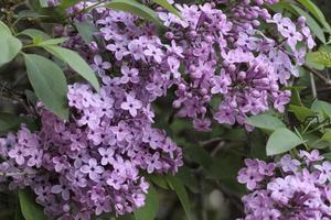 lilas en fleurs dans mon jardin photo