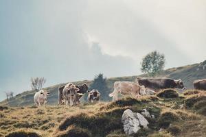 troupeau de vaches dans un pâturage italien photo
