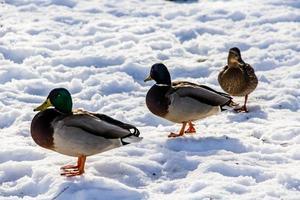 canards sauvages en hiver sur fond de neige. photo