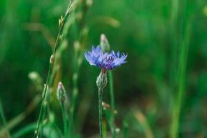 bleuet bleu sur fond d'herbe photo