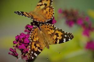 gros plan d'un papillon brun sur une fleur de jardin photo