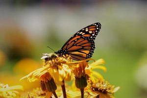 gros plan d'un papillon sur un beau souci jaune. photo