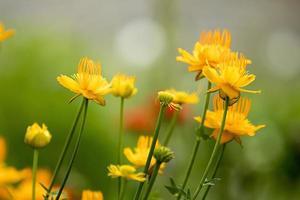 fleurs de calendula, fond de botanique de prairie photo