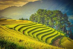 rizières en terrasses avec pin au lever du soleil photo