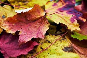 gros plan de feuilles d'érable tombées photo