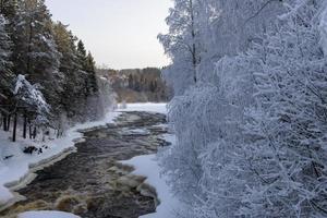 bouleaux givrés et une rivière en janvier dans le nord de la suède. photo