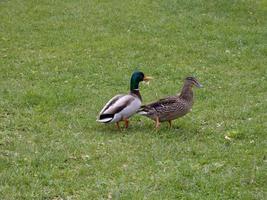 deux canards dans un parc photo