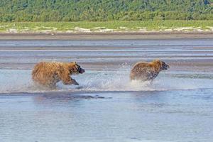 grizzly chassant un concurrent photo