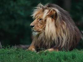 lion katanga dans l'herbe photo