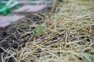 gros plan jeune petit arbre pousse dans le sol couvert par la paille photo