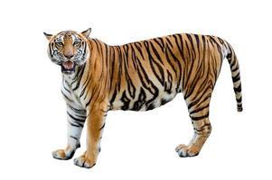 tigre fond blanc isoler tout le corps photo