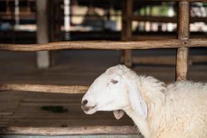 moutons à la ferme photo