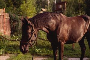 cheval brun se dresse sur la ferme de la lumière du soleil photo