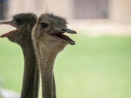 gros plan de la tête et du cou des oiseaux d'autruche dans le parc photo