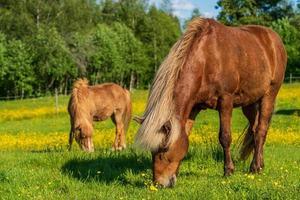chevaux islandais dans un champ d'été jaune photo
