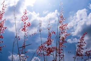 Fleurs d'herbe rubis natale dans la lumière du soleil et des nuages duveteux dans le ciel bleu photo